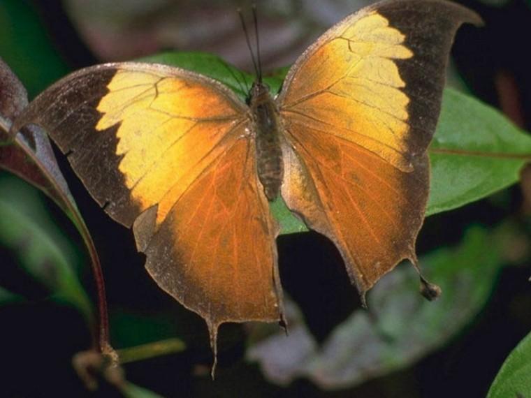 Effets_Papillons_Papillon-feuille_Kallima paralekta_wp
