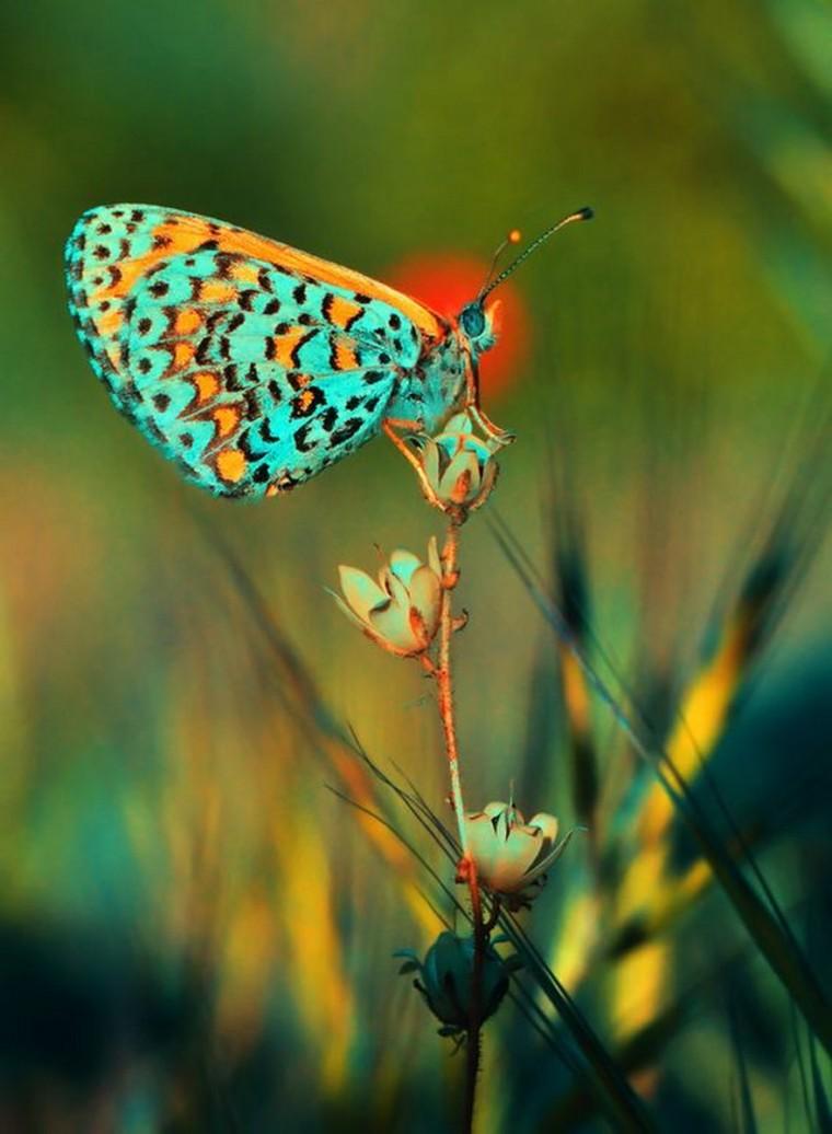 Ces animaux extraordinaires_papillon_melitaea cinxia turquoise et orange_wp