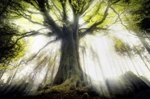 Les arbres les plus beaux du monde_France-Bretagne-forêt-de-Brocéliande_hêtre-de-Ponthus1_wp