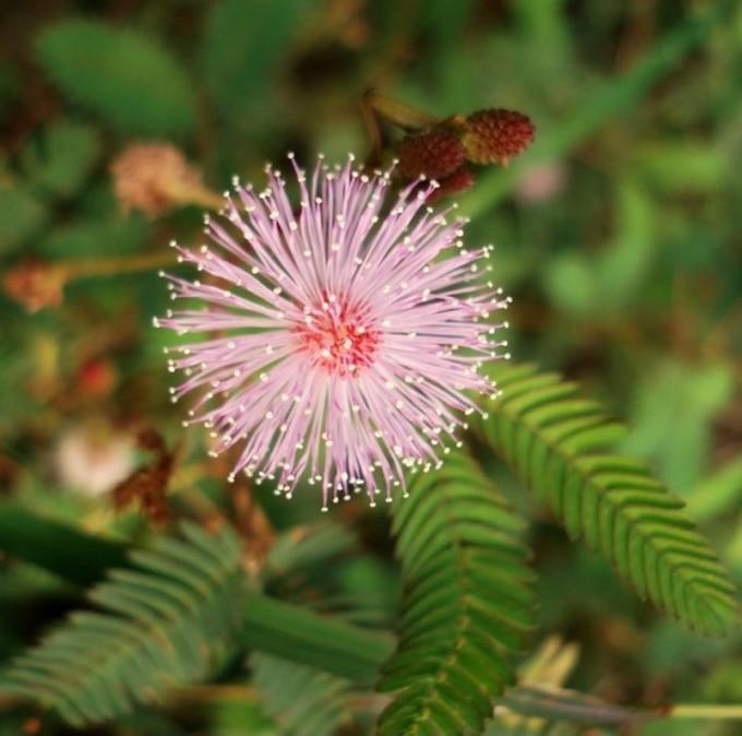 Le mimosa pète4_wp