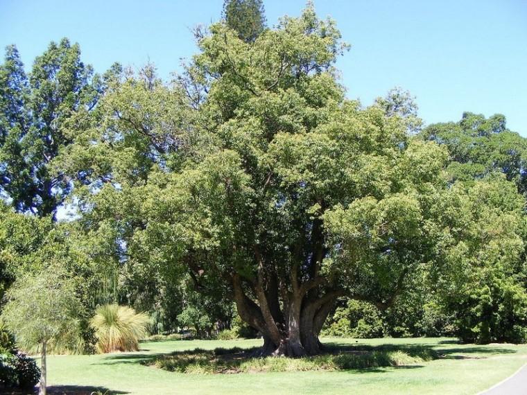 Le camphre_arbre-camphrier_wp
