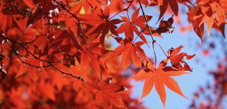 Feuilles d'automne_érable_wp