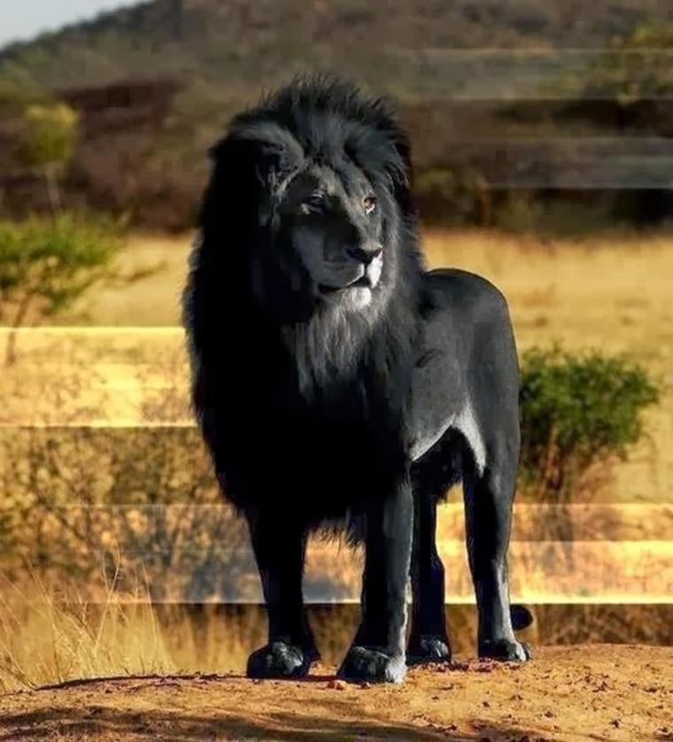 ces animaux atypiques..._lion-noir_wp