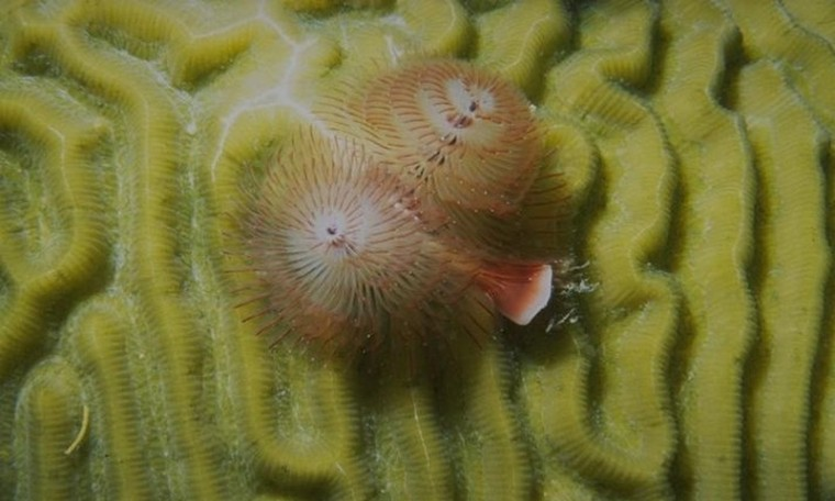 Dans la mer..._vers-annélides-spirographes-roses_wp