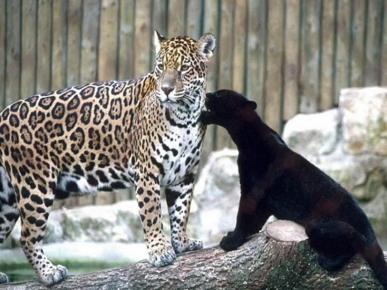 Les félidés_félins-léopard-et-bébé_wp
