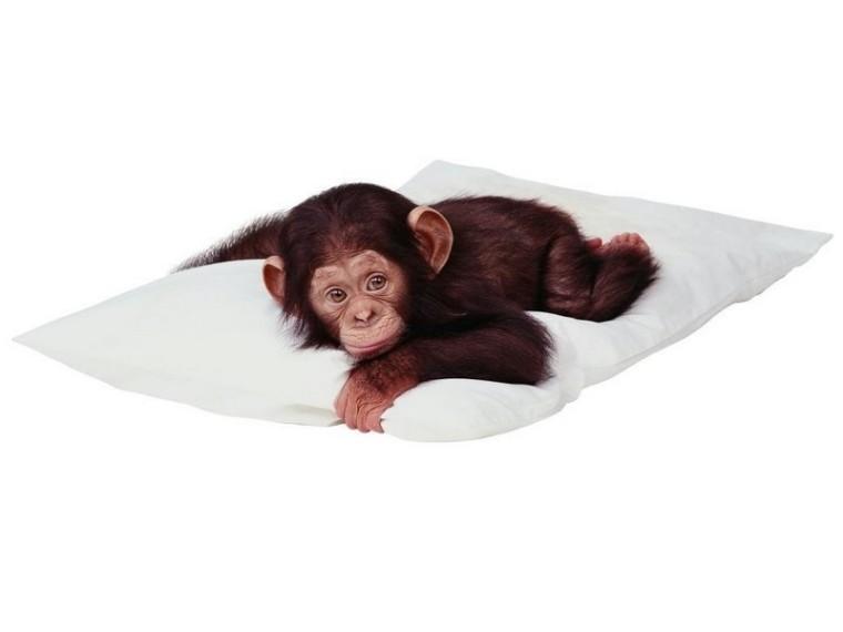 Les simiens - partie 1_chimpanzé-bébé_wp